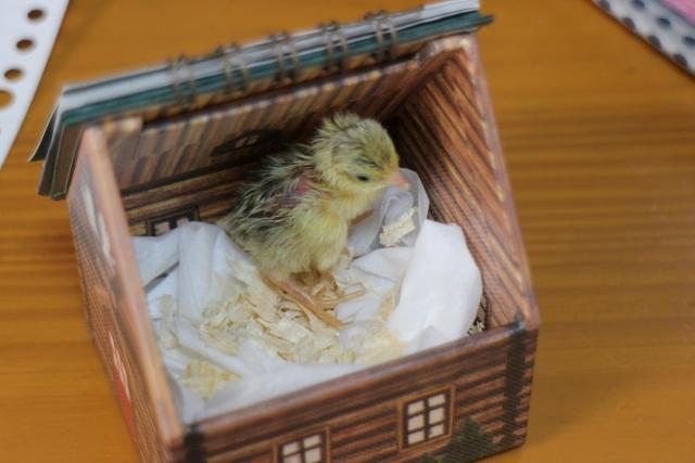 鶉の赤ちゃん